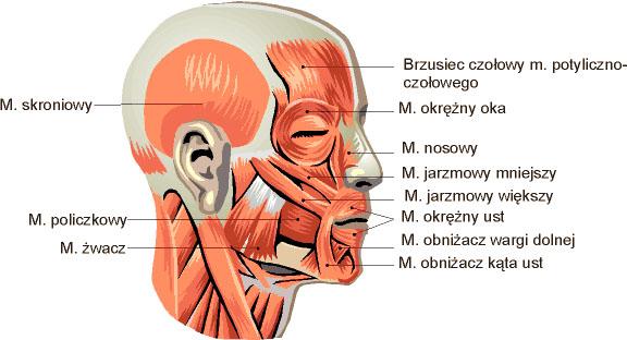 mięśnie ust
